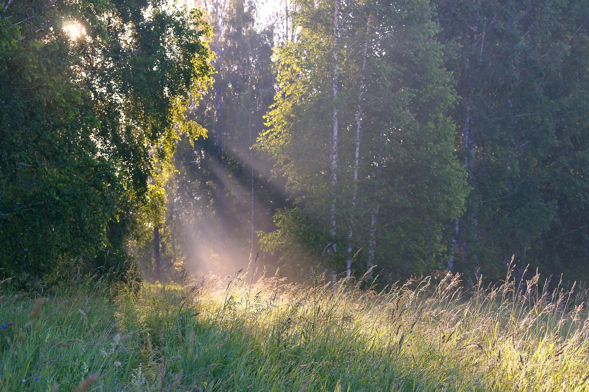 Waldsinger – die erste Strophe – Birke